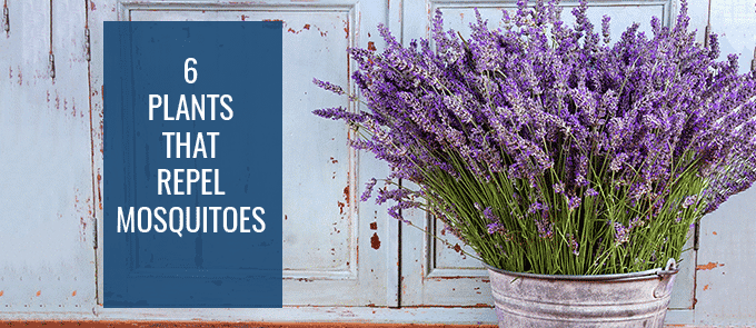 6 Plants That Repel Mosquitoes | Princeton Properties